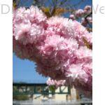 Csüngő díszcseresznye virágzás