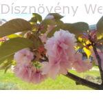 Royal Burgundy japán díszcseresznye hajtás, virág