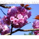 Royal Burgundy japán díszcseresznye virágdísz