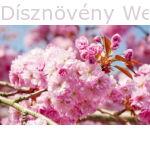 Royal Burgundy japán díszcseresznye virág