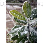 D.D. Blanchard örökzöld liliomfa ültetés után, télen