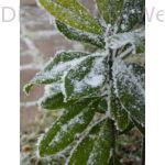 Galissoniere örökzöld liliomfa télen