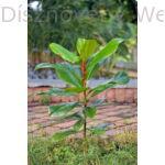 D.D. Blanchard örökzöld liliomfa ültetés után