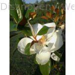 Edit Bague örökzöld liliomfa virág