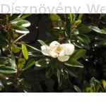 Edit Bague örökzöld liliomfa lomb, virág