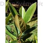 Galissoniere örökzöld liliomfa levél