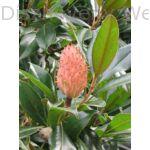 Galissoniere örökzöld liliomfa termés