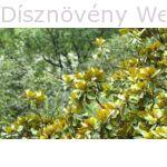 Galissoniere örökzöld liliomfa lomb