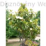 Galissoniere örökzöld liliomfa habitus