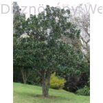 Örökzöld liliomfa habitus