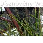 Zebrinus kínai virágosnád, zebrafű virágzásban