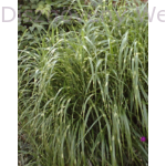 Zebrinus kínai virágosnád, zebrafű