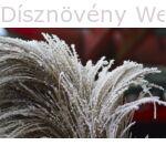 Kínai virágosnád télen is díszít