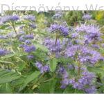 Kínai kékszakáll habitus virágzásban