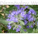 Angol kékszakáll virág