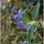 Angol kékszakállt virágzásban méh látogatja