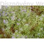 Angol kékszakáll virágzásban