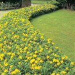 Örökzöld orbáncfű jelzősövény