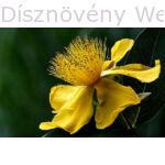 Örökzöld orbáncfű virág