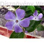 Nagy télizöld meténg virág