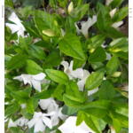 Kis télizöld meténg fehér virágú gyeppótló