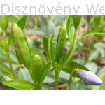Kis télizöld meténg bimbózó virág