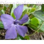 Kis télizöld meténg virág