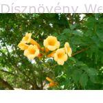 Trombitafolyondár Yelow Trumplet virágok