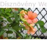 Trombitafolyondár Orange Summer virág, levél