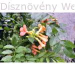 Trombitafolyondár Orange Summer virág, lomb
