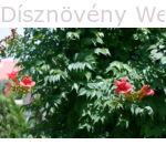 Trombitafolyondár lomb, virágok