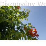 Trombitafolyondár virágok, bimbózásban