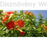 Trombitafolyondár virágzás