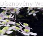 Hegyi iszalag pompás virágai