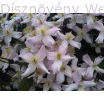 Hegyi iszalag virágzás
