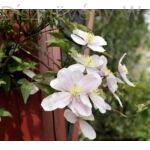 Hegyi iszalag virág, pergolán