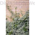Ezüsttarka kúszó kecskerágó talajon és falfelületen
