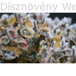 Aranytarka kúszó kecskerágó téli zimankóban