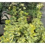 Aranytarka kúszó kecskerágó növényágyban