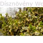 Aranytarka kúszó kecskerágó kora-tavasz
