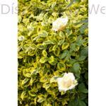 Aranytarka kúszó kecskerágó rózsa mellett
