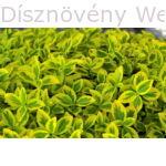 Aranytarka kúszó kecskerágó talajtakaró tavaszi friss hajtásai