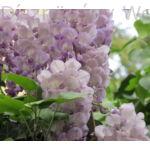 Lilaakác virágok