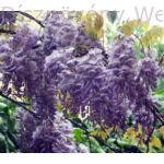 Lilaakác virágzó vessző