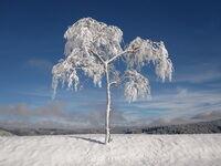 Téli kép fagyott fával