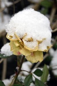 Hófödte rózsavirág kép