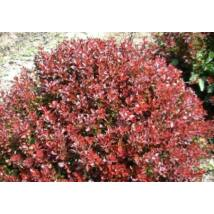 Törpe japán vérborbolya / Berberis thunbergii 'Atropurpurea Nana' ❁