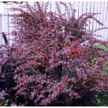 Japán vérborbolya / Berberis thunbergii 'Atropurpurea' ❁