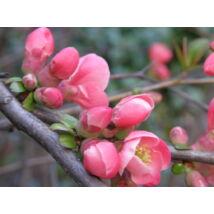 Eximia japánbirs / Chaenomeles japonica 'Eximia' ❁