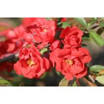 Red Joy japánbirs / Chaenomeles japonica 'Red Joy' ❁
